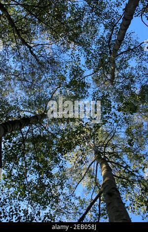 vue sur les arbres depuis le sol, à travers la voûte avec ciel bleu et soleil Banque D'Images