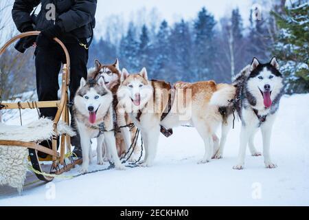 Chiens de traîneau Husky en hiver, le jour de la neige Banque D'Images
