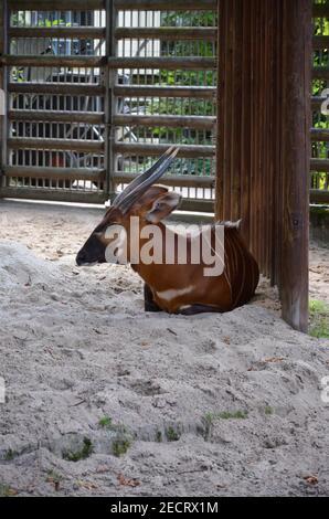 Bongo dans un zoo de Francfort, en Allemagne. Banque D'Images
