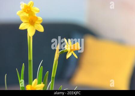 Des narcissus fleuris des fleurs jaunes sur la table à l'intérieur. Intérieur design du salon avec canapé gris et oreillers jaunes sur fond flou. Quali élevé