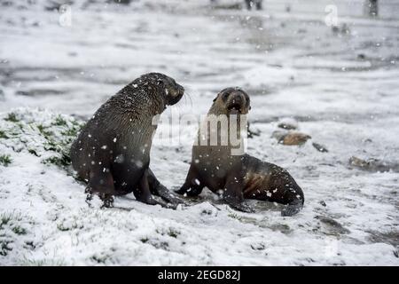 Phoque à fourrure de l'Antarctique, Arctocephalus gazella, baie St andrews sud de l'île de géorgie antarctique