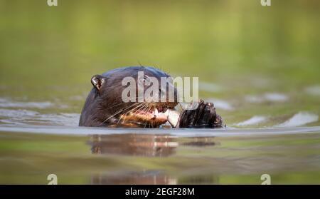 Gros plan d'une Otter de rivière Giant manger un poisson dans l'eau, Pantanal, Brésil.