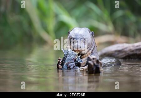 Gros plan d'une loutre géante mangeant un gros poisson dans une rivière, Pantanal, Brésil