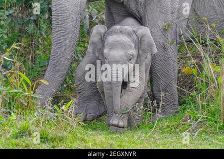 Éléphant d'Asie (Elepha maximus) dans la jungle. Parc national de Kaziranga, Assam, Inde
