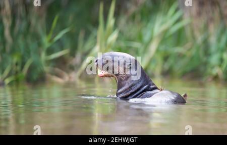 Gros plan d'une loutre géante mangeant du poisson dans une rivière, Pantanal, Brésil.