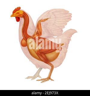 Anatomie de l'poule, dessin