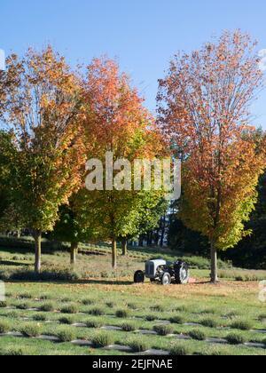 Tracteur et arbres dans le champ de lavande, Wanaka, Queenstown-Lakes District, Otago, South Island, Nouvelle-Zélande