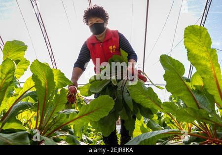 Les agriculteurs récoltent des carottes dans une ferme du district de Yuquan, ville de Hohhot, région autonome de la Mongolie intérieure du nord de la Chine, 3 mars 2020.