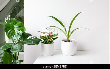 Plantes de maison sur une table blanche à l'intérieur avec lumière du jour, le lien avec la nature et le concept de jardinage à la maison