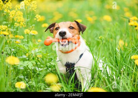 Concept de sécurité et d'entretien pour animaux de compagnie avec collier de port pour chien repel aux puces et aux tiques et traitement