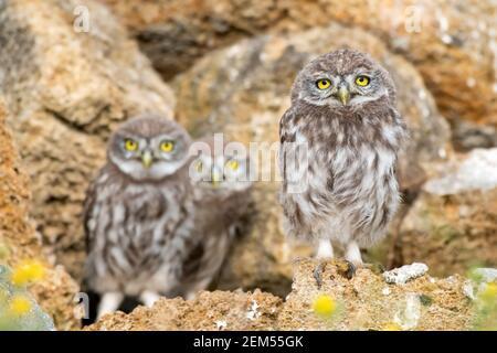 Trois jeunes chouettes, Athene noctua, se tiennent sur les pierres près du trou.
