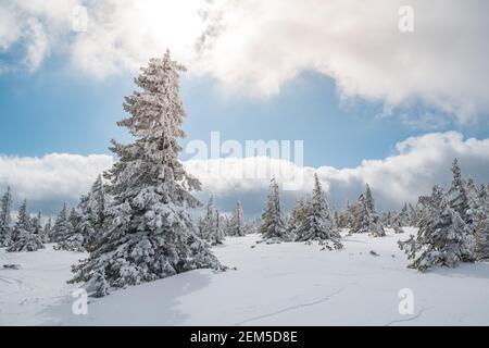 Majestueux sapins blancs illuminés par la lumière du soleil contre le ciel bleu foncé. Magnifique scène d'hiver. Lieu République tchèque, Krkonose.