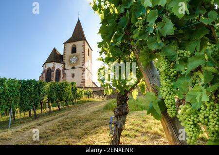Des grappes de raisins vertes d'été près de l'église médiévale de Saint-Jacques-le-Major à Hunawihr, village entre les vignobles de Ribeauville, Riquewihr