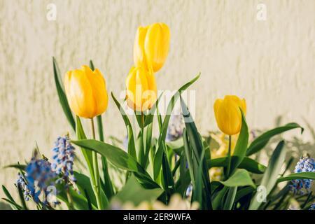Bouquet de fleurs de printemps. Tulipes jaunes, muscari bleu en pleine floraison. Fleurs fraîches parfumées. Ambiance printanière