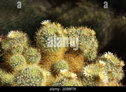 Cactus à fleurs Mammilaria elongata avec petites fleurs blanches sur fond noir. Fleurs à la maison. Placer pour le texte