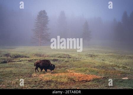 Un taureau de bison se pare dans le brouillard du parc national de Yellowstone, Wyoming, aux États-Unis.