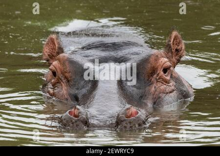 Hippopotame (Hippopotamus amphibius), Seronera, Parc national du Serengeti, Tanzanie, Afrique de l'est, Afrique