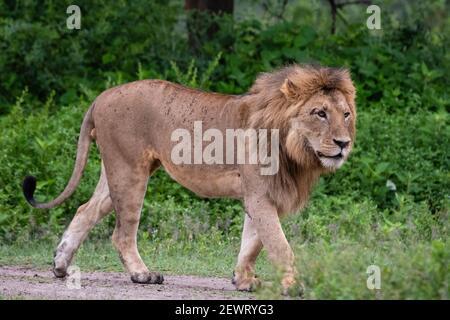 Lion (Panthera leo),, Ndutu Ngorongoro Conservation Area, Serengeti, Tanzanie, Afrique orientale, Afrique du Sud