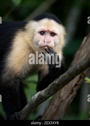Capuchin à face blanche (imitateur Cebus), lac Gatun, Panama