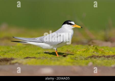 Little Tern (Sternula albifrons), vue latérale d'un adulte debout au sol, Campanie, Italie