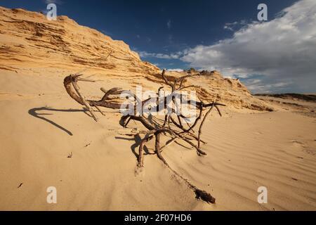 Plante morte sur une dune errante Rubjerg Knude à Lønstrup Klint, Danemark