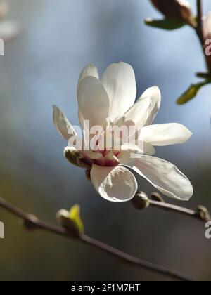 Le Magnolia stellata fleurit dans le jardin de printemps près du ciel