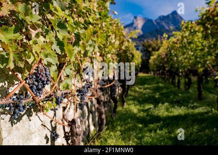 Gros plan de raisins Pinot Noir très mûrs dans un petit vignoble dans les montagnes
