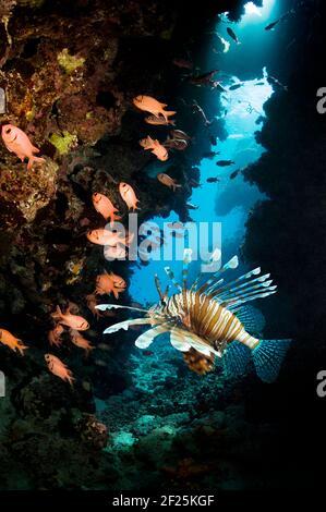 Lionfish rouge [Pterois volitans] et Soliterfish rouge [Myripristis bendti] sur le récif corallien. Égypte, Mer Rouge. Banque D'Images