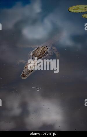 Crocodile du Nil flottant dans une rivière du parc national Kruger, Afrique du Sud. Décembre 2020