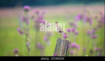 La Scripe commune Gallinago à la recherche de nourriture dans la prairie et vole et s'assoit sur des poteaux en bois, la meilleure photo.