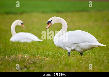 Muet swans homme et femme sur un terrain (Cygnus olor)