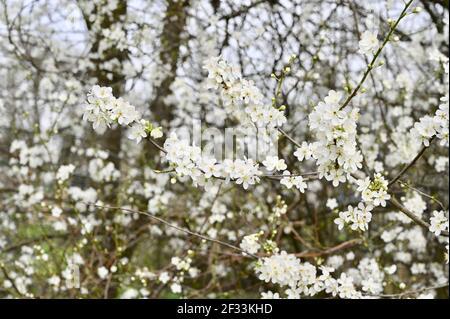 White Blossom (genre Prunus), Sidcup, Kent. ROYAUME-UNI