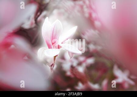 Fleur de fleur de Magnolia floraison au printemps avec lumière