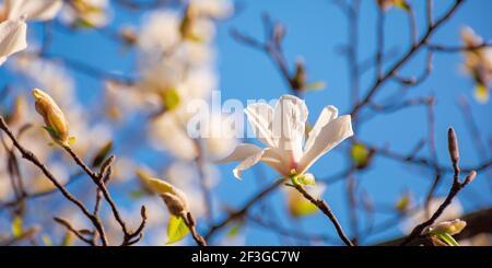 le magnolia blanc s'épanouissent dans le jardin. le printemps est un arrière-plan naturel par temps ensoleillé. les fleurs sont délicates. concept carte romantique