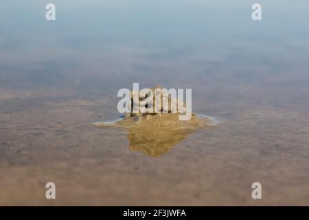 Lugworm européen, Sandworm (marina d'Arenicola). Des sédiments défectés sur le méplat intertidal. Allemagne