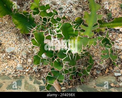 Cereus, barbelés Cactus, épée-poire, Dildo, Triangle Cactus et Órgano-alado de Pitaya (Acanthocereus tetragonus) est une plante verte W