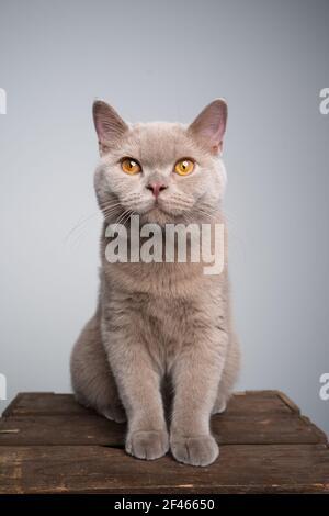 portrait d'un chaton lylac britannique de 6 mois assis sur une caisse en bois avec un espace de copie