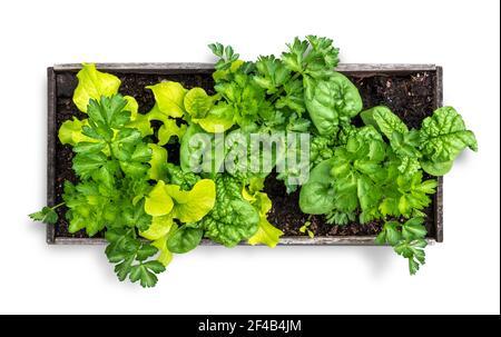 Plantoir végétalien isolé rempli de laitue, d'épinards et de céleri. Vue de dessus du petit lit de jardin surélevé en utilisant la plantation d'interplantation ou de cultures interculturales.