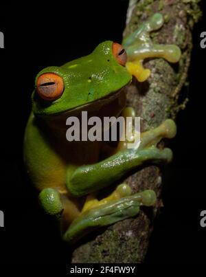 Red Eyed Tree Frog on a Branch, Natural Bridge, Queensland, Australie