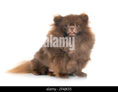 Pomeranian jeunes in front of white background