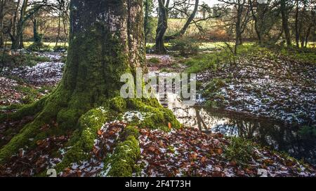 Une vue panoramique des mousses qui poussent sur le tronc d'un vieux arbre de Beech - Fagus sylvatica - dans l'ancien Bois de Draynes en Cornouailles.