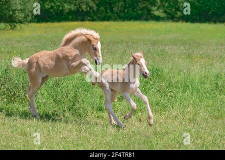 Deux fous de cheval Haflinger drôles jouant, rôdent et courant dans une prairie d'herbe verte au printemps