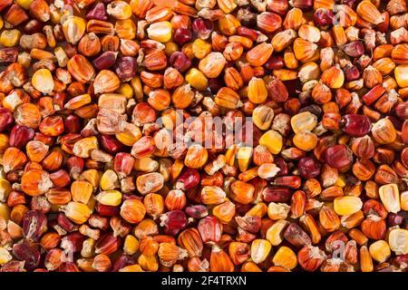 Variété de maïs créole de la région colombienne des Caraïbes - Zea mays