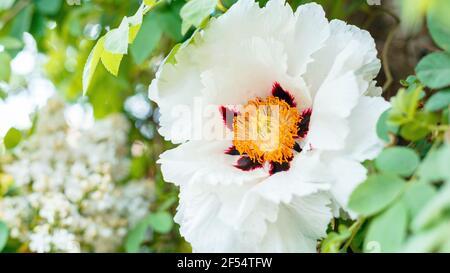 Fleurs de pivoines blanches. Belle fleur de printemps sur le Bush. Pivoine d'arbre Paeonia suffruticosa dans le jardin. Floriculture jardinage. Longue bannière Web