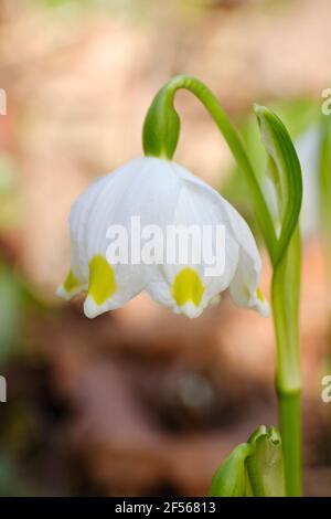 Flocon de neige blanc à fleurs (Leucojum vernum)