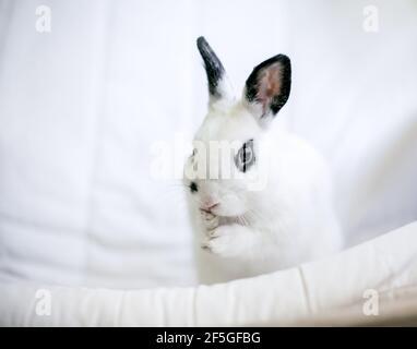 Un mignon noir et blanc Dwarf lapin toilettage lui-même et lavage de son visage