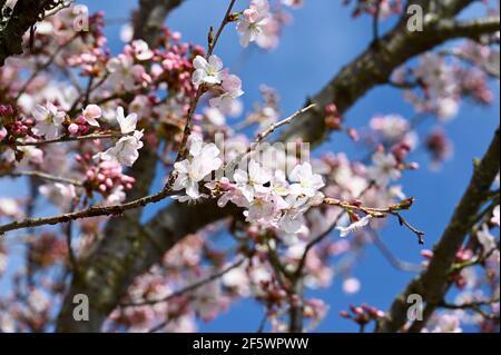 Gros plan de Blossom, Sidcup, Kent. ROYAUME-UNI