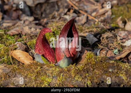 Le chou-mouffette (Symplocarpus foetidus) est l'une des premières plantes indigènes à se développer et à fleurir au début du printemps dans le Wisconsin.