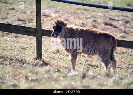Vienne, Autriche. Le bétail de Heck (Bos primigenius f.taurus) dans le Tiergarten de Lainzer est un de plusieurs aurochs-comme le bétail