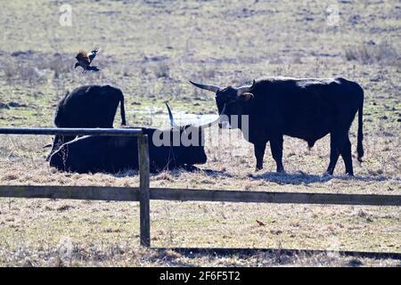 Vienne, Autriche. Le bétail de Heck (Bos primigenius f.taurus) dans le Tiergarten de Lainzer est un de plusieurs aurochs-comme le bétail.